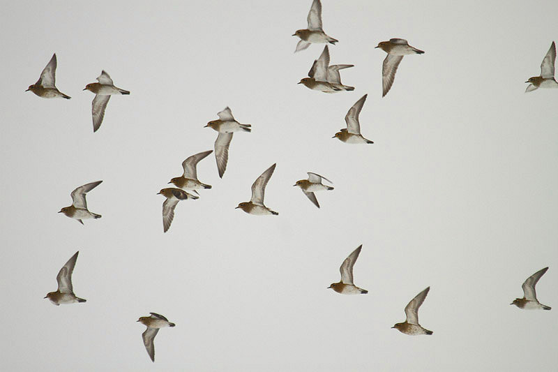 Golden Plovers by Mick Dryden