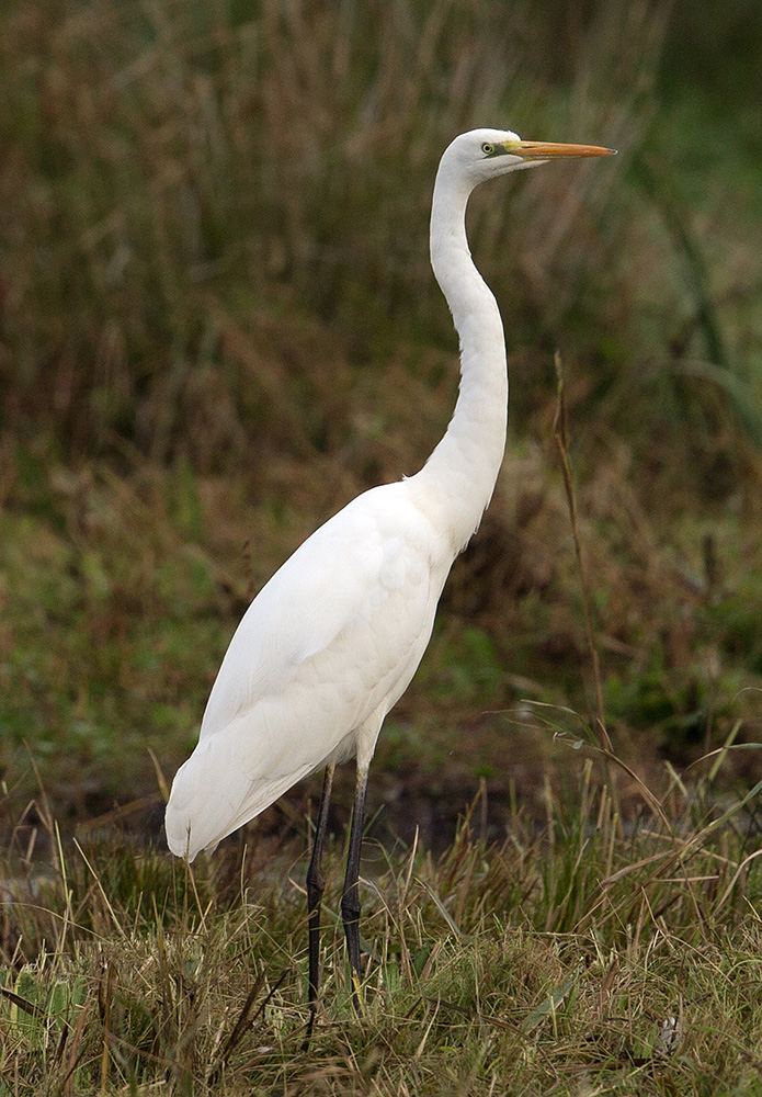 Great White Egret by Andy Stoaling