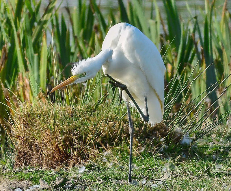 Great White Egret by Tony Wright