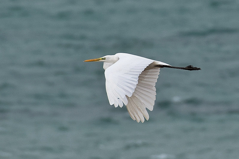 Great White Egret by Alan Gicquel