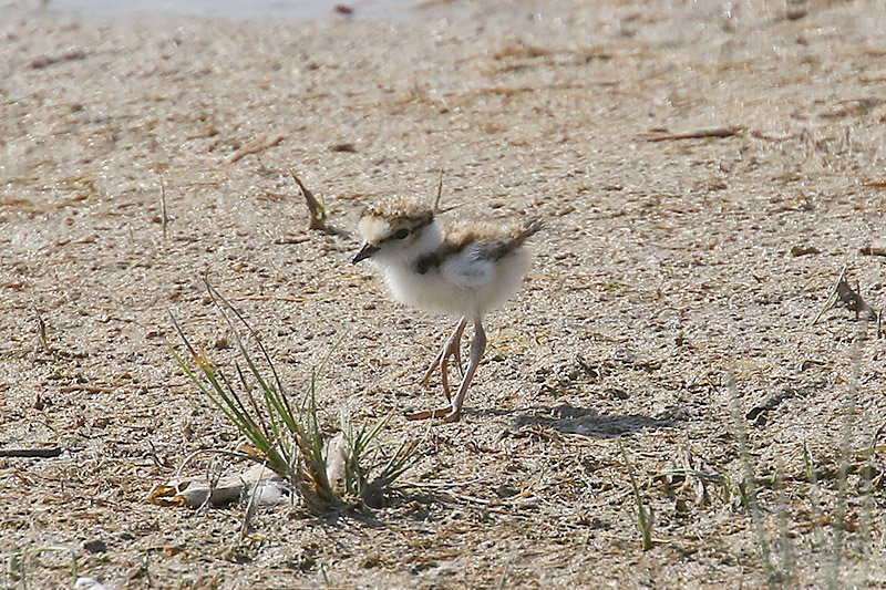 Little Ringed Plover by Mick Dryden