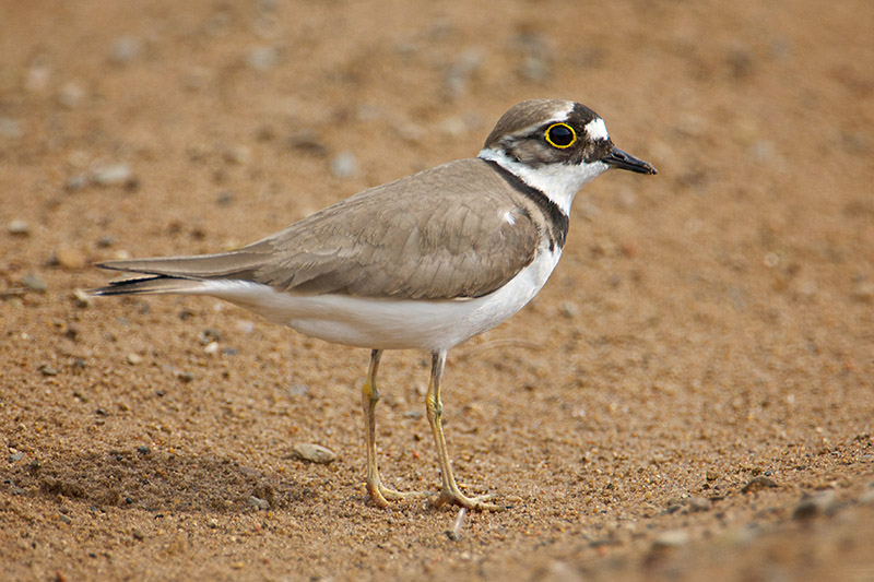 Little-ringed Plover by Paul Marshall