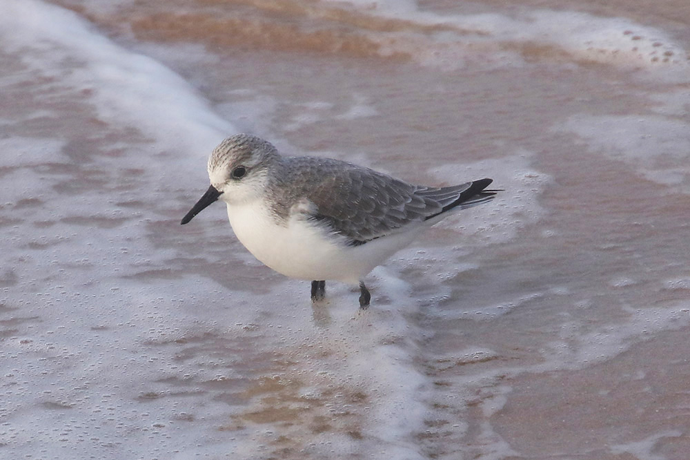 Sanderling by Mick Dryden