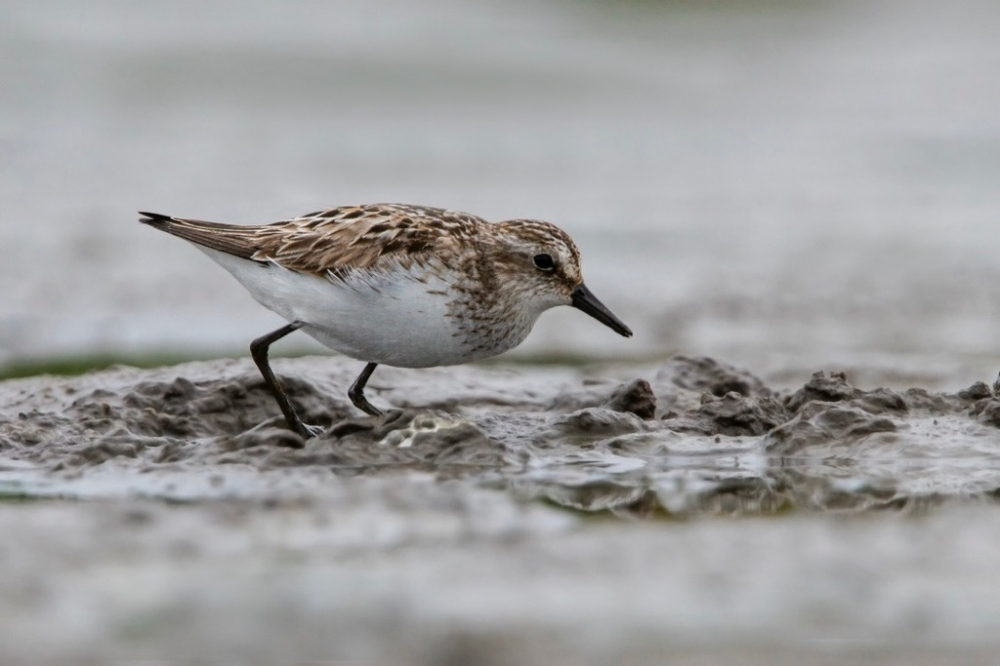Semipalmated Sandpiper by Romano da Costa