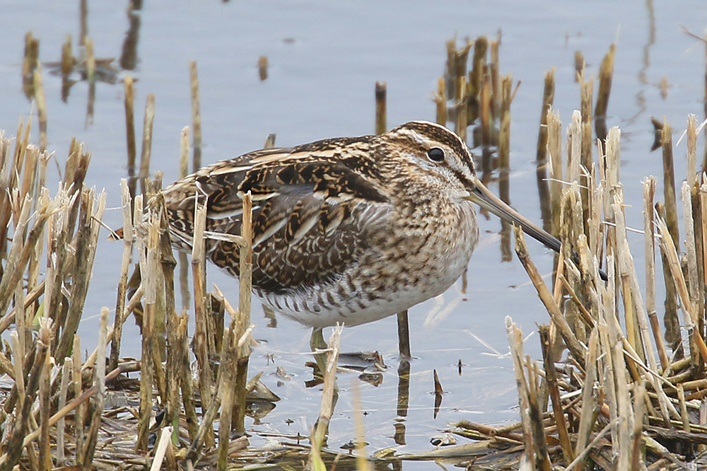 Common Snipe by Mick Dryden