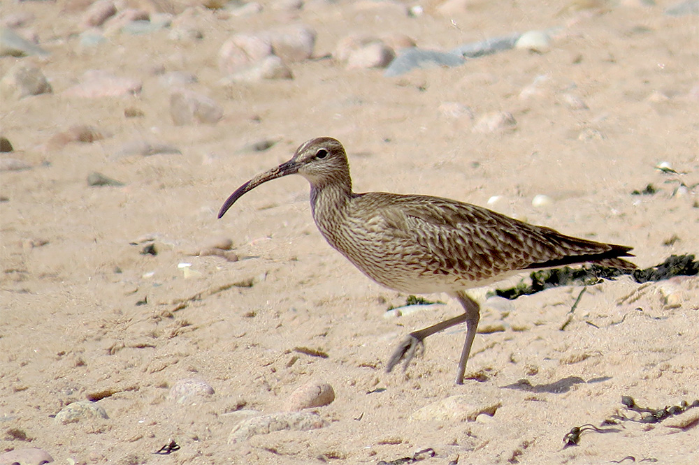 Whimbrel by Alan Gicquel
