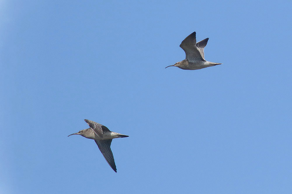 Whimbrels by Mick Dryden