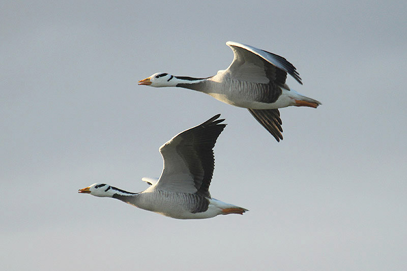 Bar-headed Geese by Mick Dryden