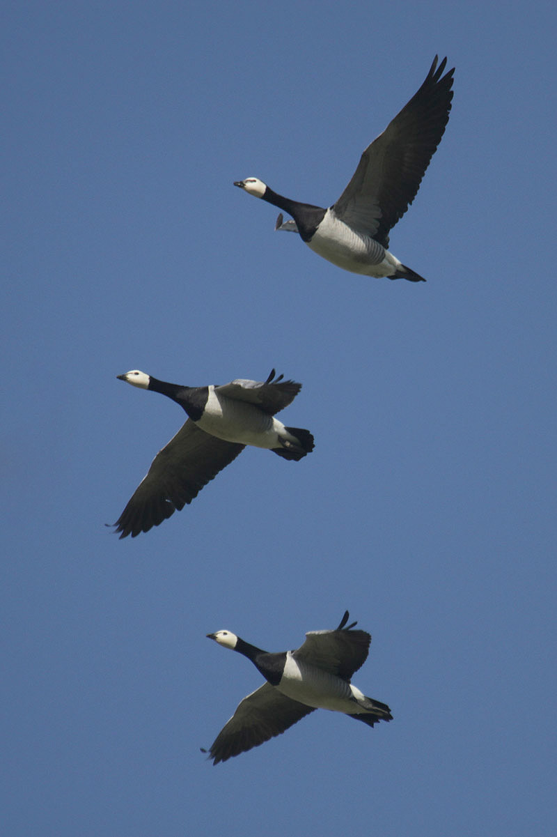 Barnacle Geese by Mick Dryden