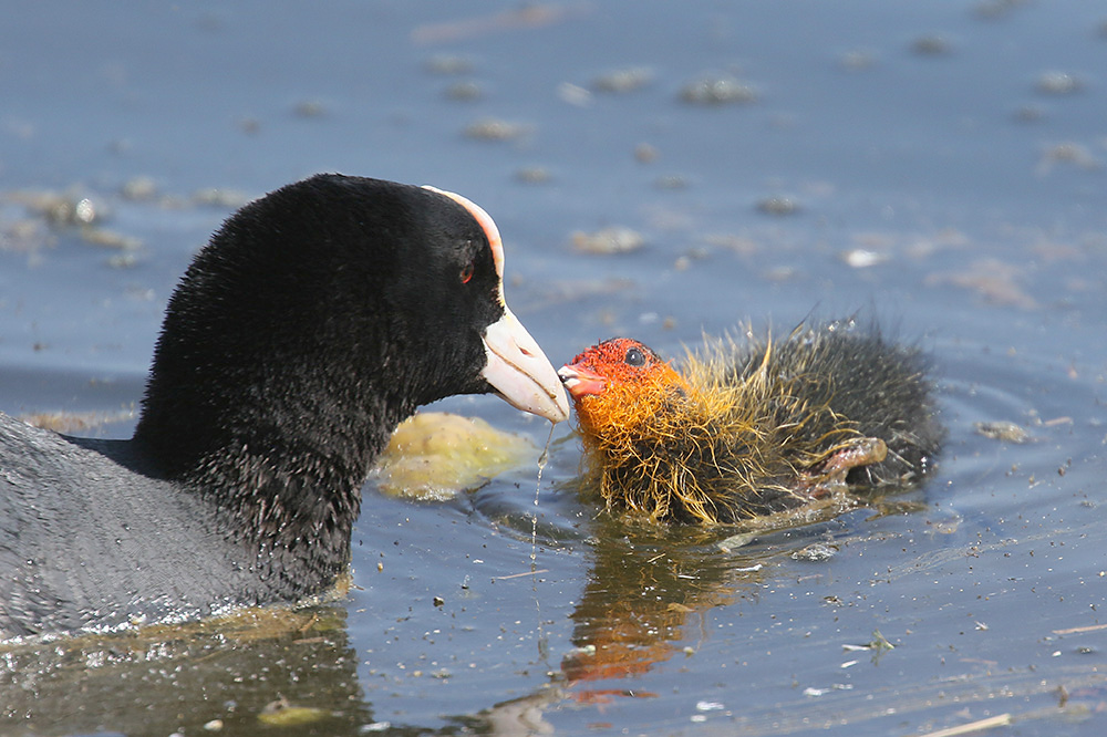 Coot by Mick Dryden
