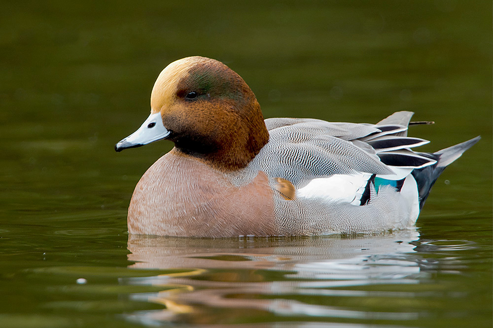 Wigeon by Romano da Costa