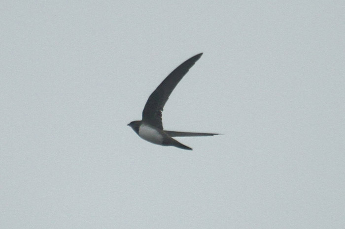 Alpine Swift by Mick Dryden