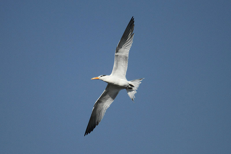 Royal Tern by Mick Dryden
