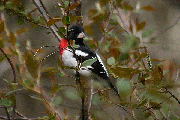 Rose breasted Grosbeak by Mick Dryden