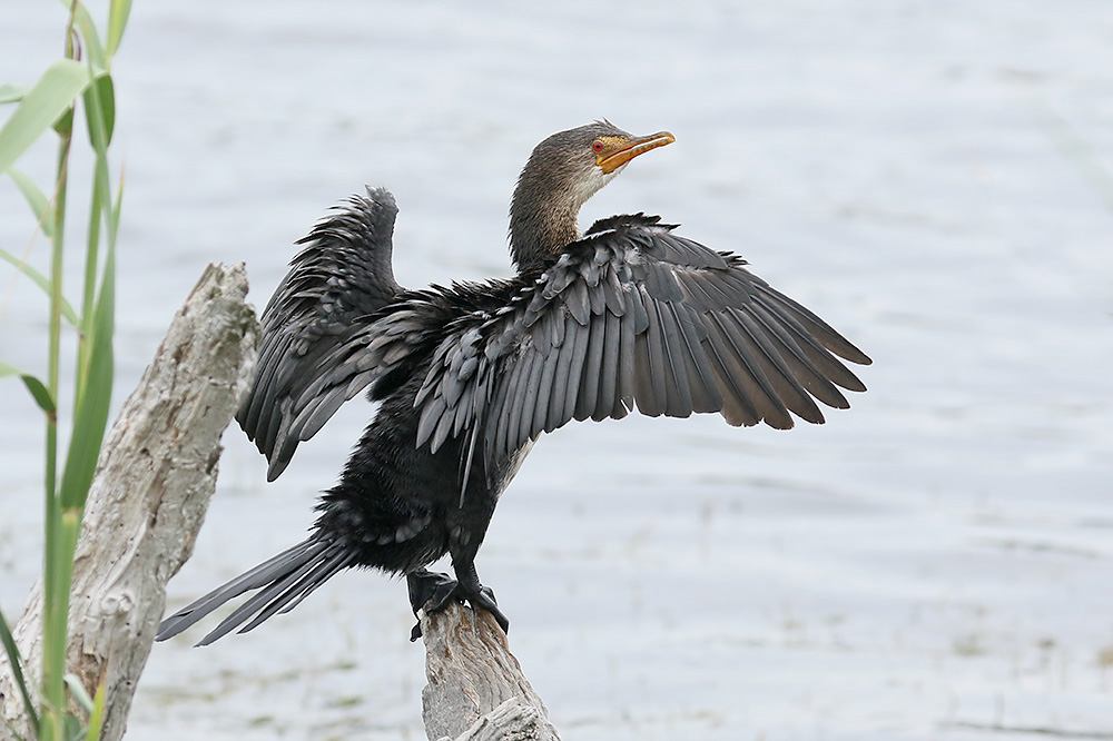 Reed Cormorant by Mick Dryden