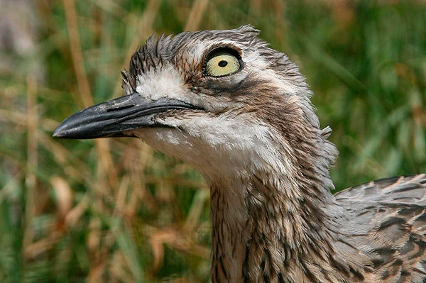 Bush Stone Curlew by Bill Wood