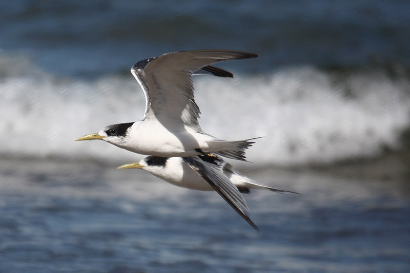 Crested Tern by Mick Dryden