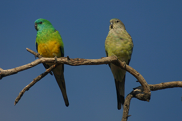 Red-rumped Parrot by Mick Dryden