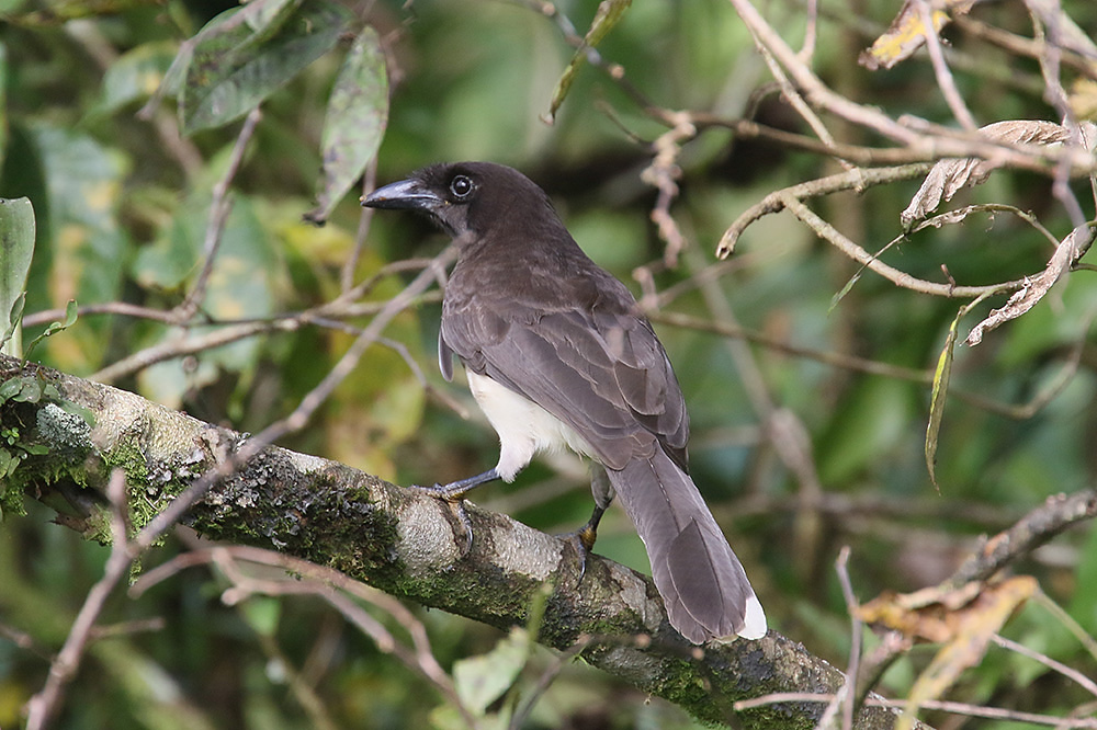 Brown Jay by Mick Dryden