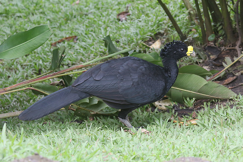 Great Curassow by Mick Dryden