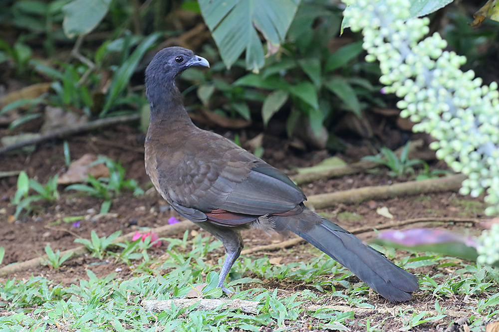Gray-head Chachalaca by Mick Dryden