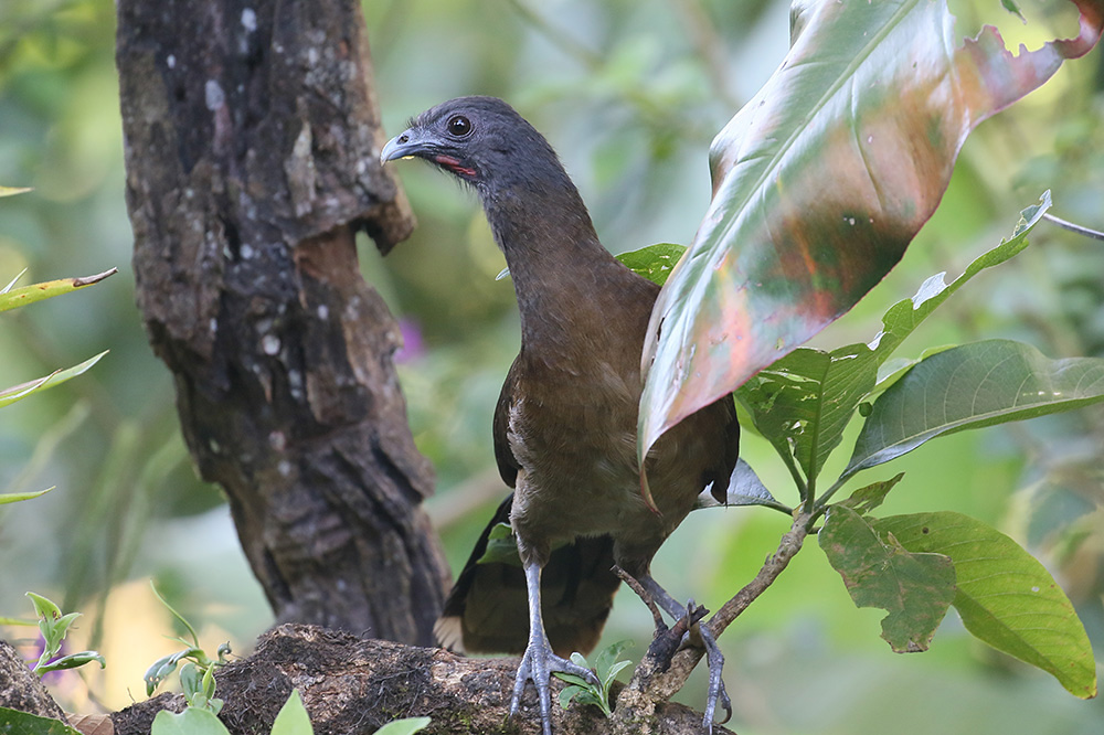 Gray-headed Chachalaca by Mick Dryden