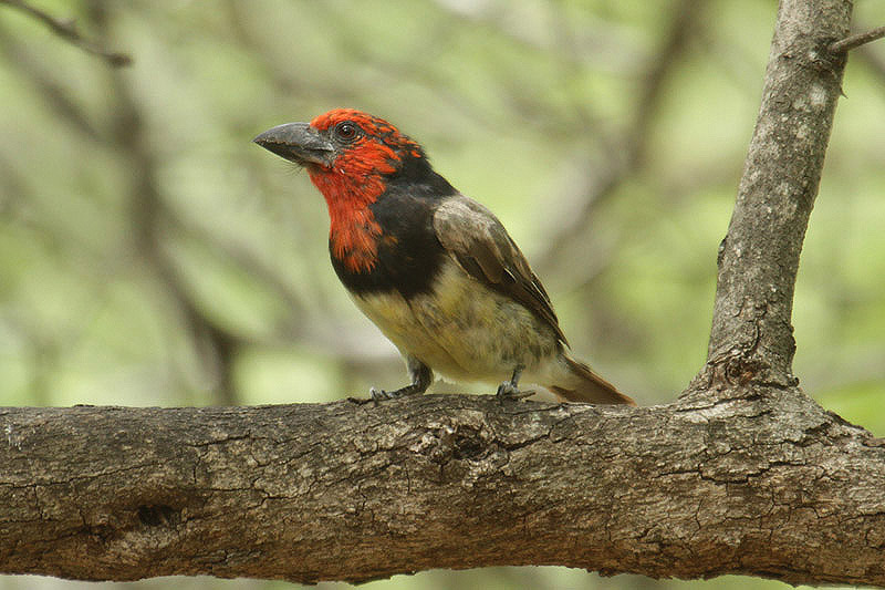 Black-collared Barbet by Mick Dryden