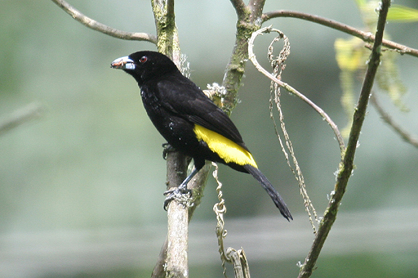 Lemon-rumped Tanager by Mick Dryden