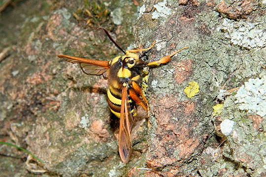 Hornet Moth by Richard Perchard