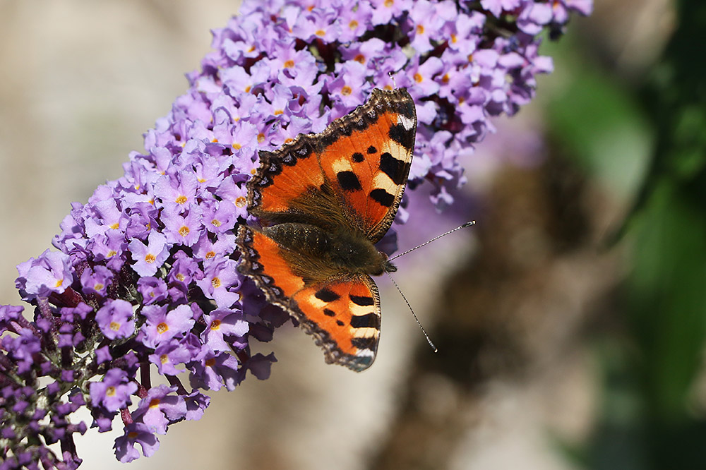 Small Tortoiseshell by Mick Dryden
