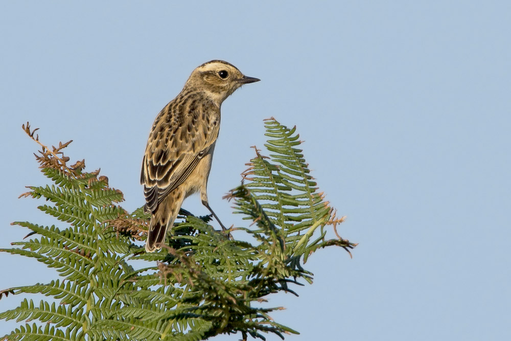 Whinchat by Romano da Costa