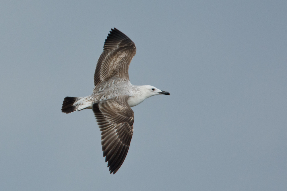 Caspian Gull by Romano da Costa
