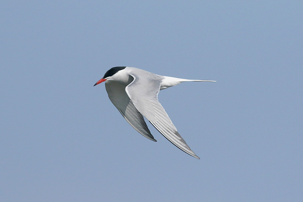 Common Tern by Mick Dryden