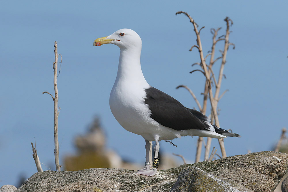 Great Black backed Gull by Mick Dryden