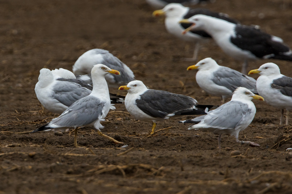 Yellow-legged Gull by Romano da Costa