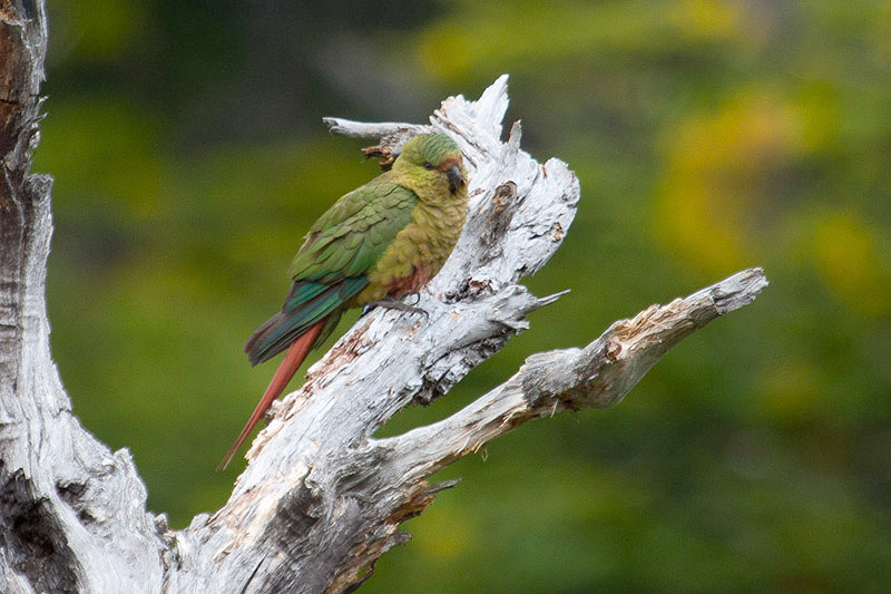 Austral Parakeet by Miranda Collett