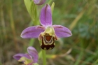 Bee Orchid by Tony Paintin