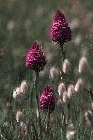 Pyramid Orchid by Richard Perchard