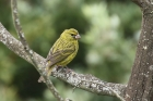 Brimstone Canary by Mick Dryden