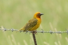 Cape Weaver by Mick Dryden