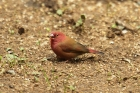 Red-billed Firefinch by Mick Dryden