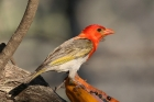 Red headed Weaver by Mick Dryden