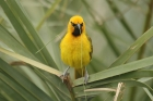 Spectacled Weaver by Mick Dryden