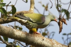 African Green Pigeon by Mick Dryden