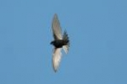 White-rumped Swift by Mick Dryden