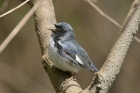 Black throated Blue Warbler by Mick Dryden