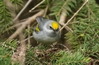 Golden winged Warbler by Mick Dryden