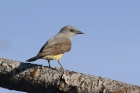 Western Kingbird by Mick Dryden
