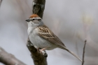 Chipping Sparrow by Mick Dryden