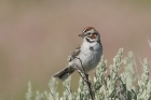 Lark Sparrow by Mick Dryden